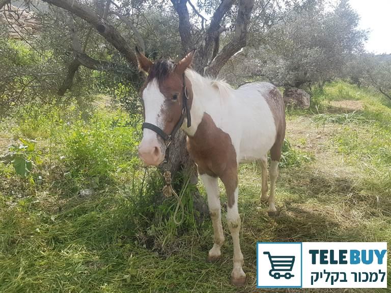 סוסים אחר   ביהודה ושומרון