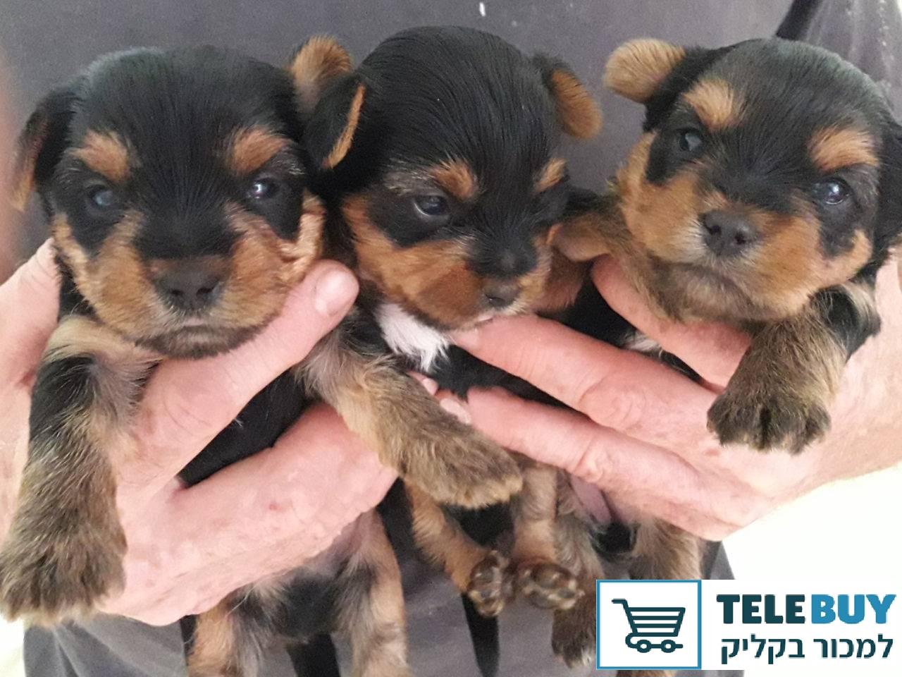 כלבים יורקשייר טרייר בקריות