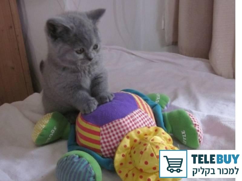 חתולים בריטי קצר שיער בתל אביב-יפו