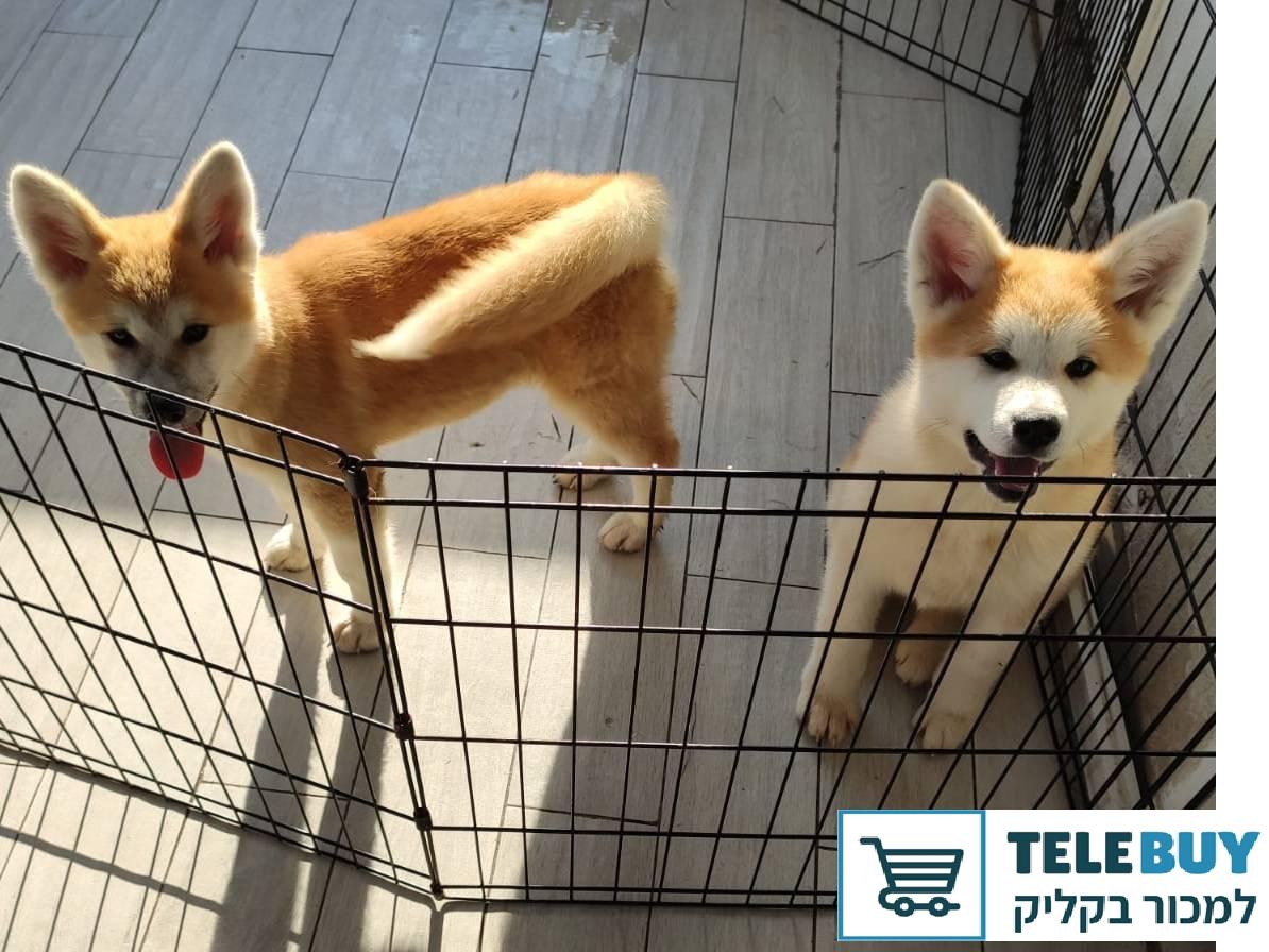 כלבים אקיטה   בירושלים