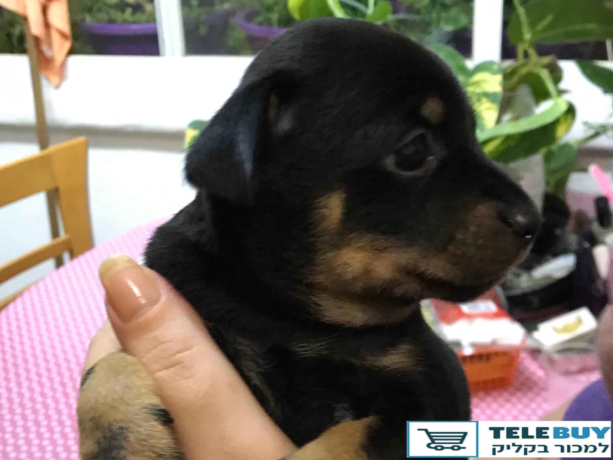 כלבים פינצ`ר ננסי   ברמת גן וגבעתיים