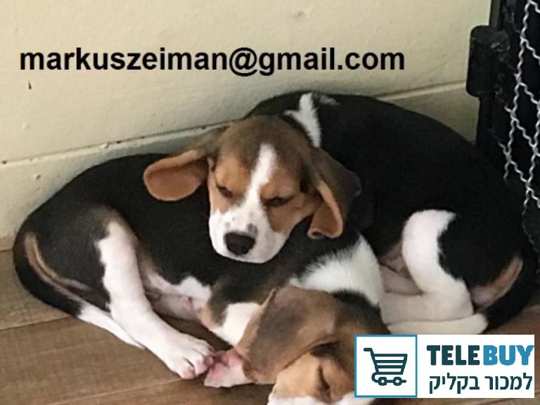 כלבים ביגל   ביישובים באזור ירושלים