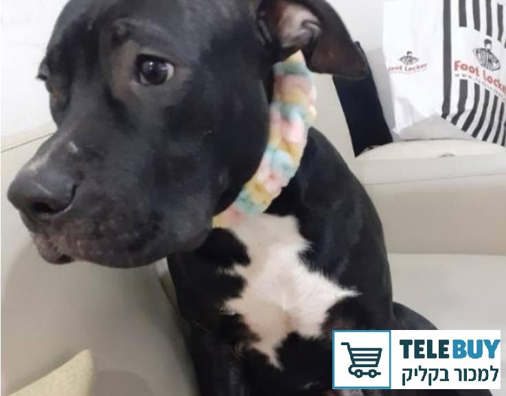 כלבים טרייר רוסי שחור   בתל אביב-יפו