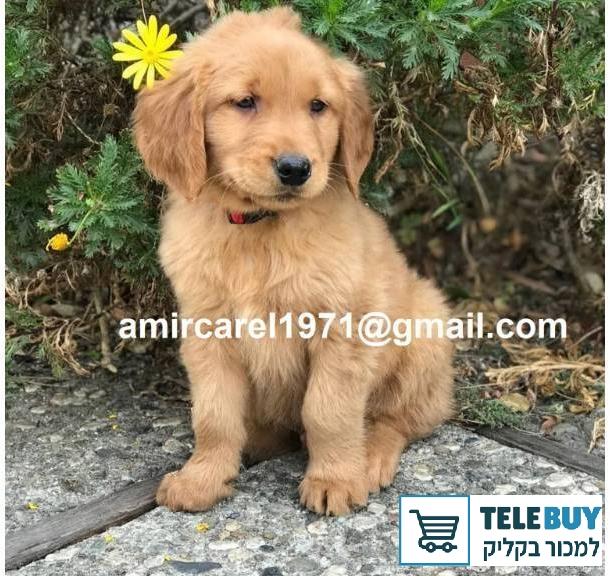 כלבים גולדן רטריבר   בטבריה והסביבה