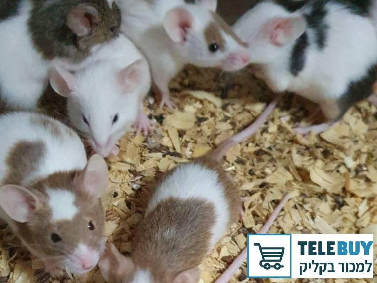 מכרסמים עכברים   בעפולה והעמקים
