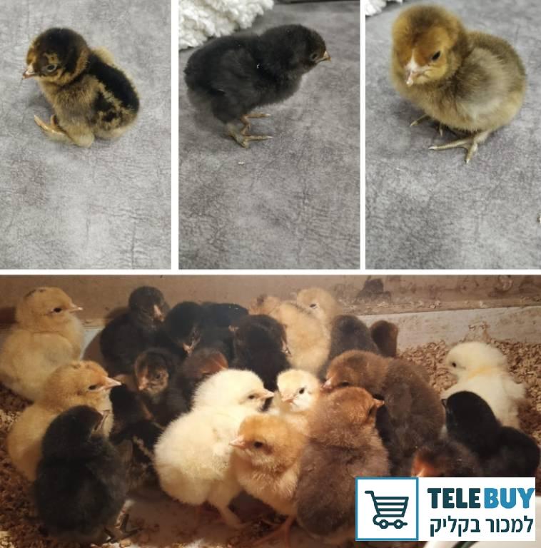 תמונה של תרנגולים ביישובים באזור השפלה