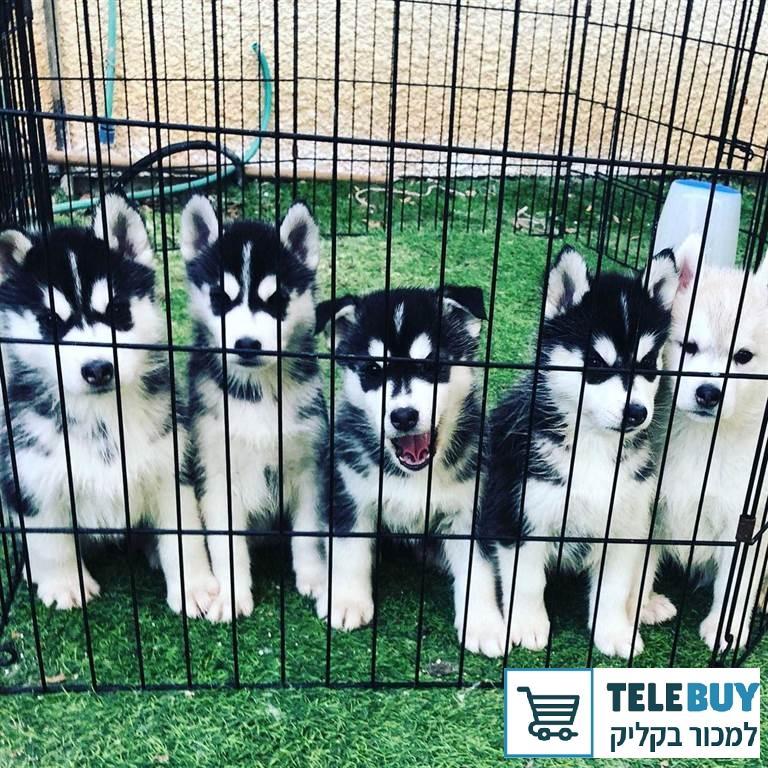 כלבים האסקי סיביר בעכו-נהריה