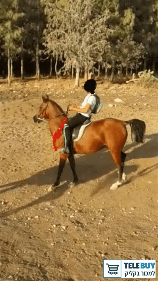 סוסים ערבי בעמק יזרעאל