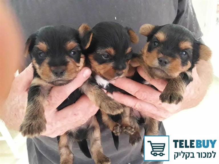 כלבים יורקשייר טרייר בחיפה