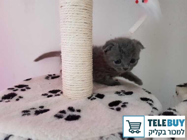 חתולים Scotish Fold בפתח-תקוה