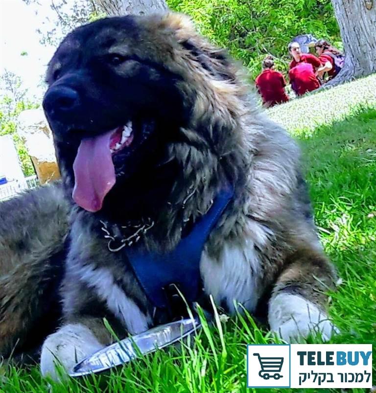 כלבים רועה קאווקזי ביישובים באזור הצפון