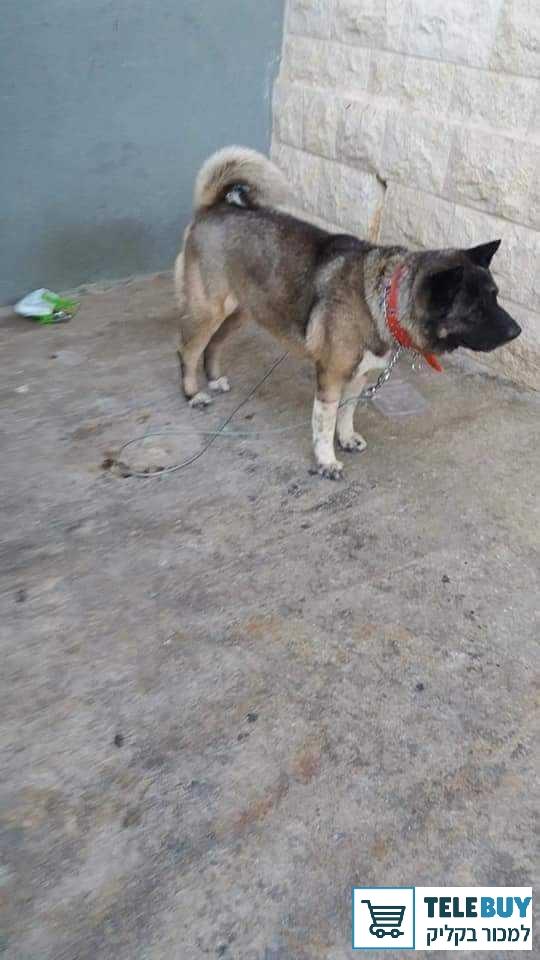 כלבים אקיטה בכרמיאל והסביבה
