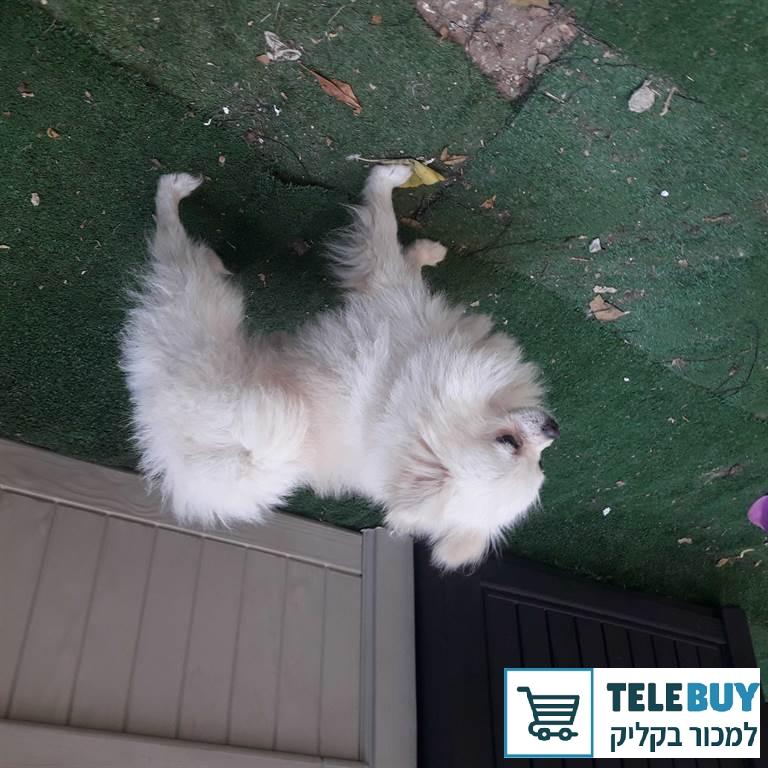 כלבים פומרניאן בחיפה