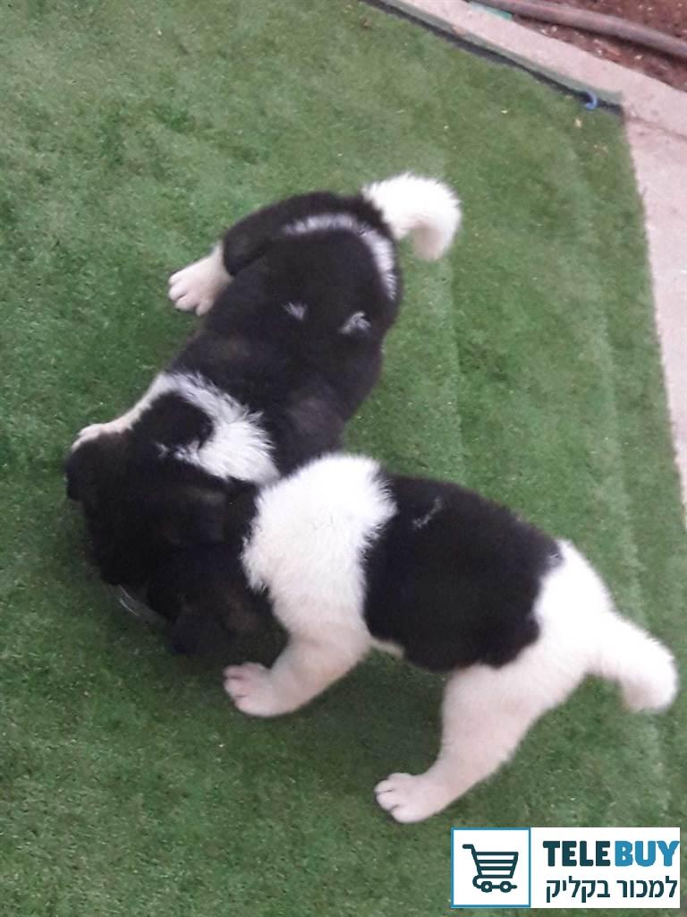 כלבים אקיטה בעכו-נהריה