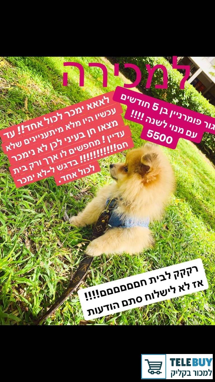 כלבים פומרניאן בפתח-תקוה