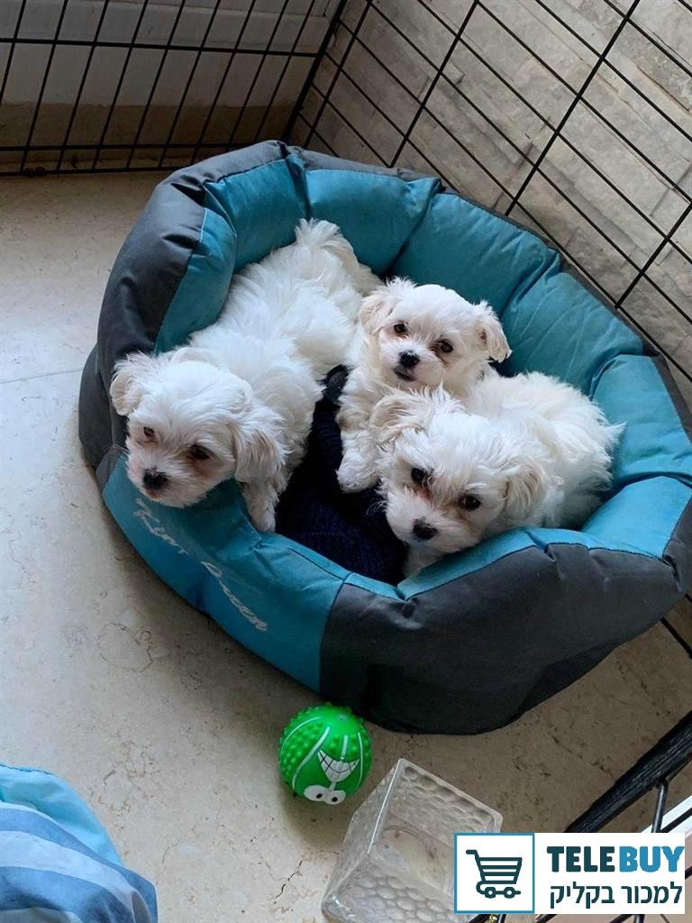 כלבים מלטז בחיפה