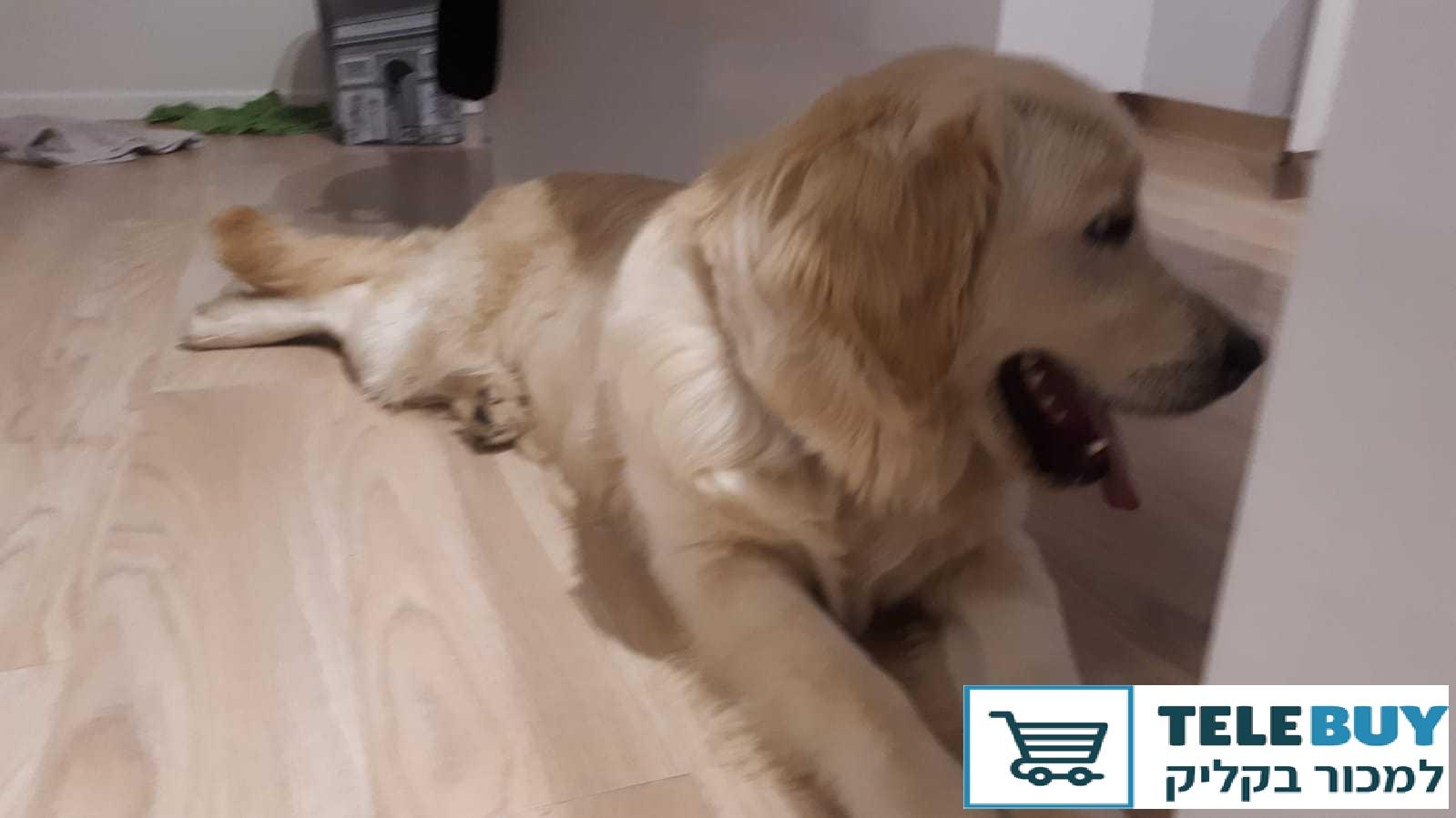 כלבים גולדן רטריבר בירושלים